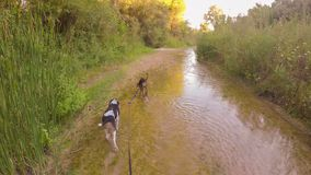 Walking with two hunt dogs at the river of Alfeios in Greece. A walk in the nature. stock footage