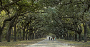 Walking under canopy of live oaks Royalty Free Stock Image