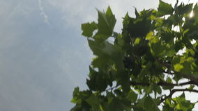 Walking Under the Plane Trees. Shot filming upwards looking at the sky while walking underneath plane trees. The sun glows brightly between the leaves and stock video