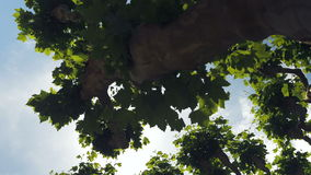 Walking Under the Plane Trees 2. Shot filming upwards looking at the sky while walking underneath plane trees. The sun glows brightly between the leaves and stock video footage