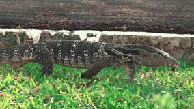 Walking of The Varanidae Water monitor lizard on green grass in the public park HANDHELD stock video footage
