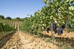 Walking through the vineyard Royalty Free Stock Images