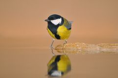 Walking on water. Tit perched on a water fountain Royalty Free Stock Photography