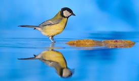 Walking on water. Tit perched on a water fountain Royalty Free Stock Photos