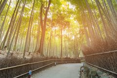 Walking way in Bamboo forest, Kyoto Japan. Natural landscape background Royalty Free Stock Photo