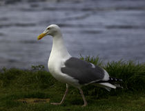 Walking Western Gull Royalty Free Stock Photo