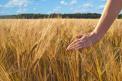 Walking in wheat field Stock Photo