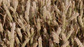 Walking through a wheat field. stock footage