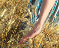 Walking on the wheat land Stock Image