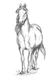 Walking white horse sketch portrait. Walking white horse. Stallion standing on hoofs with mane and tail waving in wind. Vector pencil sketch portrait Stock Photo
