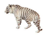 Walking white tiger. Isolated  over white Royalty Free Stock Images