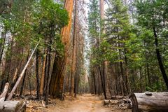 Walking on a wide path through the forests of Yosemite National Park stock photos