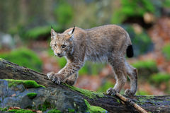 Walking wild cat Eurasian Lynx in green forest Royalty Free Stock Image