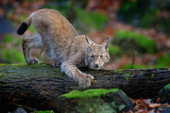 Walking wild cat Eurasian Lynx in green forest Royalty Free Stock Photography