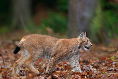 Walking wild cat Eurasian Lynx in orange autumn leaves, forest in background Stock Photography