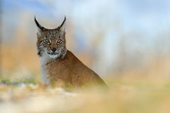 Walking wild cat Eurasian Lynx in orange autumn leaves, forest Stock Image