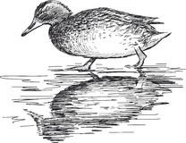 Walking wild duck Stock Photography