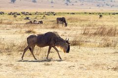 Walking wildebeest in Ngorongoro Royalty Free Stock Photos