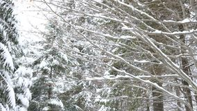 Walking in winter forest covered with snow. Slow motion stock video