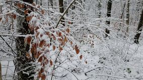 Walking in a winter forest during a snowfall stock footage