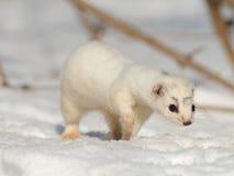 Walking winter Least Weasel Stock Image