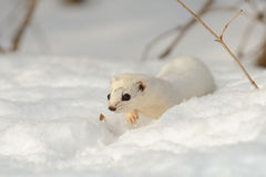 Walking winter Least Weasel Royalty Free Stock Images