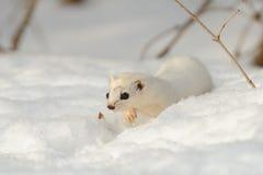 Walking winter Least Weasel. Winter Least Weasel (Mustela nivalis) walking through the snowdrift Royalty Free Stock Images