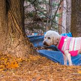 Walking in the Winter Woods. A white labradoodle dog making taking her morning walk in a pink sweater in the North Carolina woods Royalty Free Stock Photography