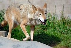 Walking wolf Royalty Free Stock Photos