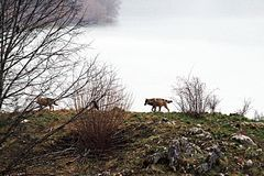 Walking wolfs. Two wolfs on the lake barrea in the abruzzo national park in italy Stock Photo