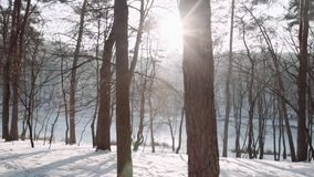 Walking in the woods. Winter forest park at sunset. Walking in the woods. Steadicam shot. Winter forest park at sunset stock video footage
