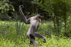 Walking yellow-cheeked gibbon (Nomascus gabriellae Stock Image