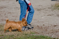 Walking a Yorkshire Terrier Royalty Free Stock Image