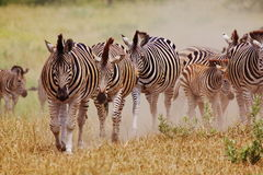 Walking Zebra Stock Image