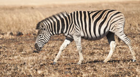 Walking Zebra Royalty Free Stock Photo
