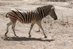 Walking Zebra Royalty Free Stock Photography