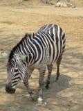 Walking zebra Stock Photo