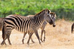 Walking zebra in Ngorongoro Royalty Free Stock Photos