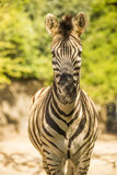 Walking zebra. A photo of  zebra walking Royalty Free Stock Photo