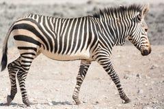 Walking zebra Royalty Free Stock Photo