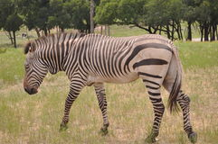 Walking Zebra. A Zebra walking threw the grass in Glen Rose, Texas Royalty Free Stock Images