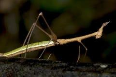walkingstick эквадора Стоковые Изображения