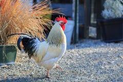 Walkink do galo na exploração agrícola autônomo Fotos de Stock Royalty Free
