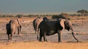 Walkng de los elefantes en el parque de Amboseli, Kenia metrajes