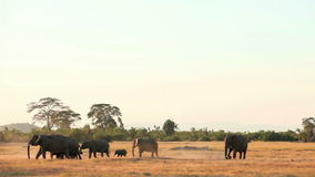 Walkng de los elefantes en el parque de Amboseli, Kenia almacen de video