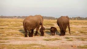 Walkng de los elefantes en el parque de Amboseli, Kenia almacen de metraje de vídeo