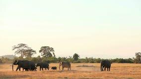 Walkng degli elefanti nel parco di Amboseli, Kenya archivi video