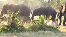 Walkng degli elefanti nel parco di Amboseli, Kenya stock footage