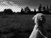 Walks. Black and white photo of dog Stock Images