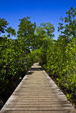 WALKWAY. Between of the mangrove in Thailand Royalty Free Stock Photo